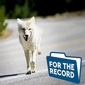 For The Record Coyote running